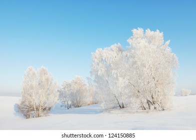 Sunny winter landscape with white trees