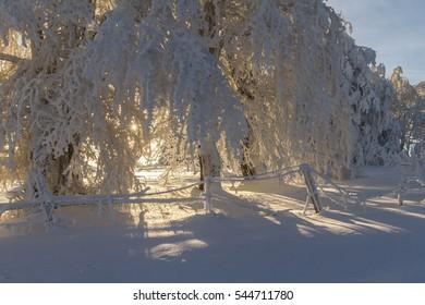 Sunny winter scene in the mountain forest after heavy snowfall. Carpathian region, Romania, Europe.