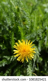 Sunny yellow dandelion flower in selective focus against green yarrow foliage background - with copy space