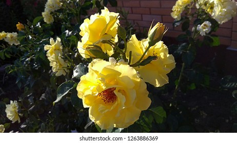Sunny yellow roses inflorescence. Cluster of yellow roses, lit by the evening sunlight in a garden. Cluster of three roses & three rose buds on flowering rose bushes background.