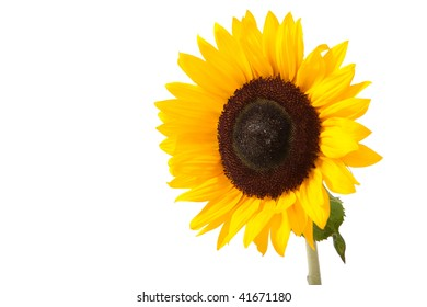 Sunny yellow sunflower isolated over white with green leaves