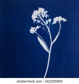 Sun-printing or cyanotype process. Skeleton flower cyanotype