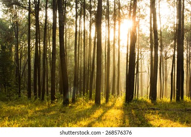 sunray shinning thought fog of pines forest