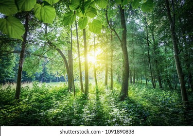 The sunrays breaking through the leaves and crown of the tree. Sunbeams and forest background.
