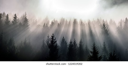 Sunrays. Dense pine forest in morning mist. Fog above pine forests.
