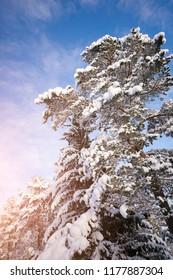 Sunrays on winter tree