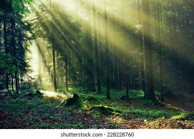 Sunrays reaching through the Fir Trees in the Morning after heavy Rain
