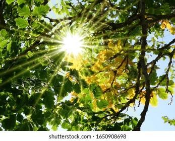 Sunrays shining through autumnal leaves