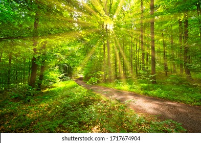 sunrays in the spring in a beech forest