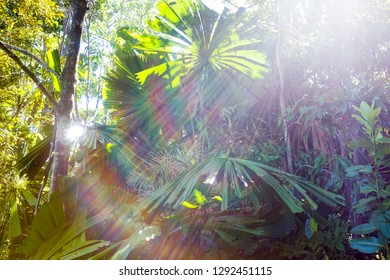 Sunrays through Fan Palms in The Daintree, Tropical North Queensland, Australia