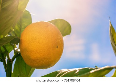 Sun-ripened orange for delicious taste in the garden