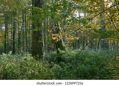 Sunrise in autumn deciduous forest with oak stump in foreground, Bialowieza Forest, Poland, Europe