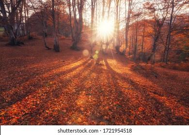秋の森の日の出。明るい金色の秋の自然の風景