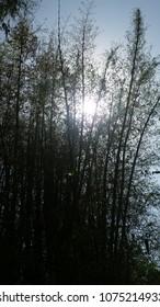 sunrise behind bamboo plant wallapaper
