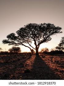 Sunrise behind a camel thorn tree on a farm in Namibia casting shadows forward