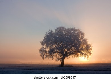 sunrise behind an isolated  big oak tree with hoar frost on a misty morning
