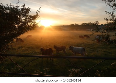 Sunrise cows field gate on the Oxfordshire Northamptonshire border