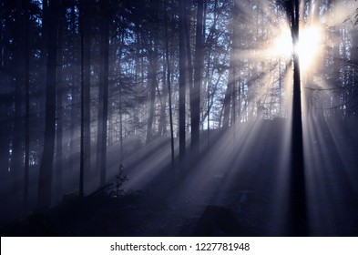 Sunrise in the dark forest. Sunrays are breaking through trees