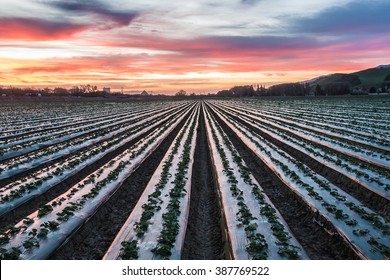 Sunrise (dawn) in the Salinas Valley, the agricultural farming hub of central California. A field of freshly planted crops (strawberry plants) on plastic covered mounds reflect the early morning light
