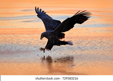 Eagle Catching Fish Images Stock Photos Vectors Shutterstock