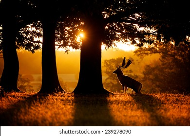sunrise, a fallow deer buck rising up to the morning sunrise, silhouette