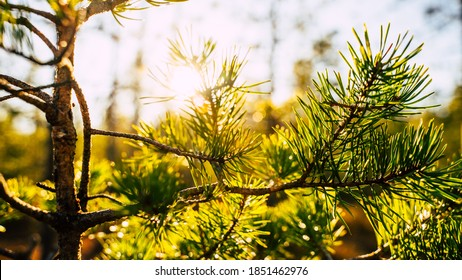 Sunrise in forest. Forest sunrise view. Sunrise forest trees landscape.
