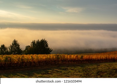 Sunrise glows through rows of golden grapevines, casting shadows on dry grass, evergreen trees stark against a bank of fog lit by the rising sun.