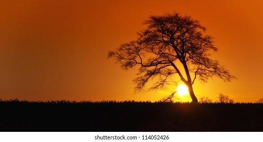 Sunrise with lone tree over rape fields