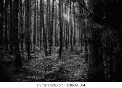 sunrise in the middle of the forest, black and white, nature  background, black and white