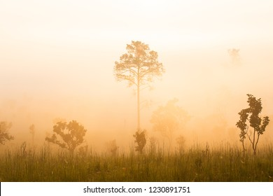 Sunrise at the mountain view Pinus mugo - It is also known as creeping pine