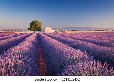 Sunrise on the Lavender Fields in Provence, France