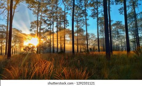 Sunrise on Longleaf pine