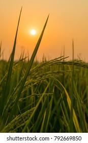 Sunrise on the rice field