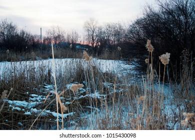 Sunrise on the swamp in winter. Russian winter. Bulrush. Photo image