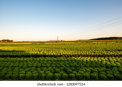 Sunrise over the cabbage field, crops in summer sun. Copy space