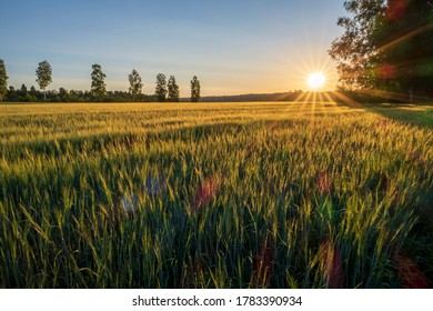 Sunrise over field of crops. Beautiful summer daybreak over growing fields in the countryside of Sweden.