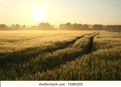 Sunrise over a field of grain on a foggy spring day.