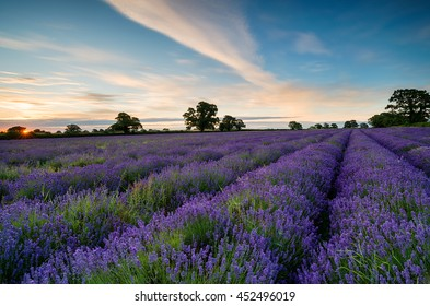Sunrise over a field of lavender blooming in the Somerset countryside