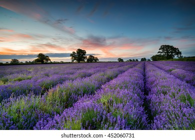 Sunrise over a field of Lavender growing in the Somerset countryside