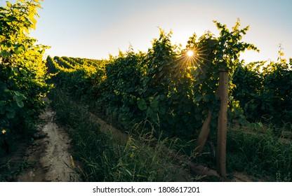 Sunrise over grape Vineyard; summer winery region morning landscape Typical view on countryside in Morava region. South Moravia in Czech Republic  - Shutterstock ID 1808617201