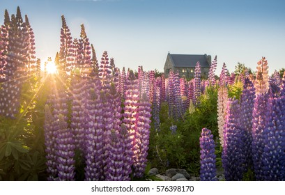 Sunrise over lupine field at Tekapo lakeside during springtime in New Zealand