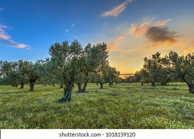 Sunrise over olive grove near Skala kallonis on Lesbos island, Greece