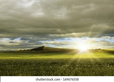 Sunrise over an opium poppy meadow