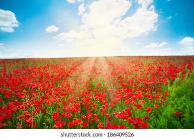 Sunrise over red poppy flowers