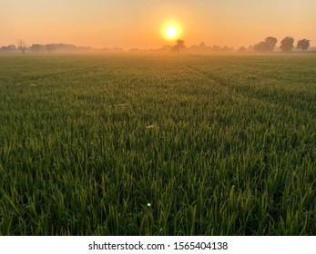 Sunrise over rice field plantation with morning mist.