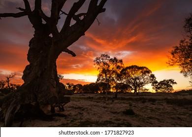Sunrise over River red gum tree on lake bonney in barmera south australia on June 22 2020