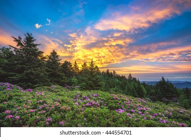 Sunrise over a sea of Catawba Rhododendron at Tennessee's Roan Mountain State Park