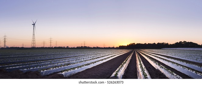 sunrise over strawberry fields
