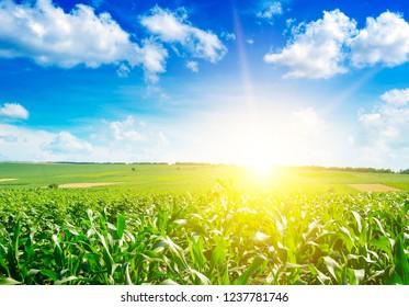 Sunrise over summer corn field.