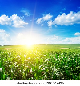 Sunrise over summer corn field. Agriculture background